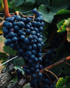 Nho Cabernet Sauvignon và những chai vang đỏ ngon bậc nhất thế giới
