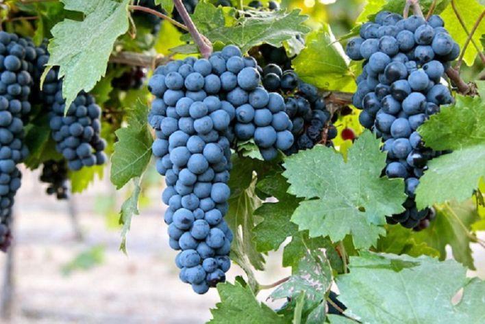 Tiểu vùng trồng nho Manduri - Nơi ươm mầm những chai vang nổi tiếng thế giới