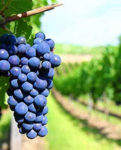 Vùng Puglia - Cái nôi sản sinh những chai vang Ý ngon tuyệt hảo